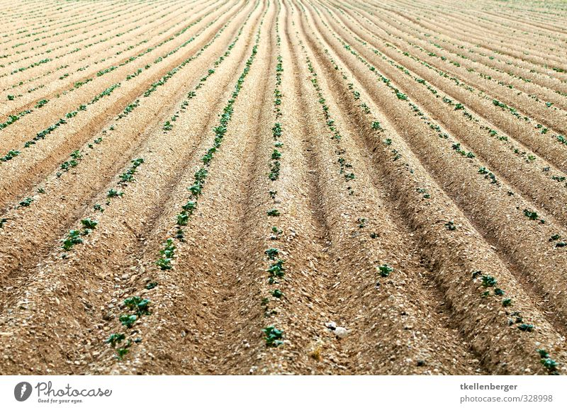 Ackerfurche begrünt Schaufel Umwelt Natur Landschaft Pflanze Urelemente Erde Sand Sommer Grünpflanze Nutzpflanze Gemüse Setzling Saatgut Aussaat Feld Furche
