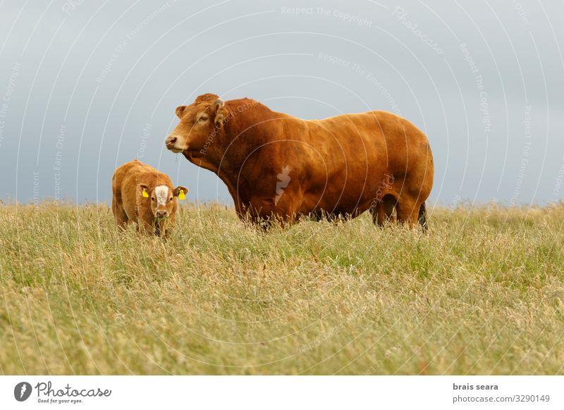 Stier und Kalb Lebensmittel Fleisch Essen Landwirtschaft Forstwirtschaft Industrie Familie & Verwandtschaft Natur Landschaft Tier Klimawandel Gras Wiese Feld
