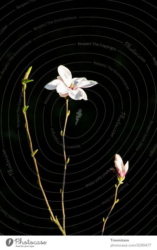 Magnolie zeigt drei Zustände Magnolienbaum Magnolienblüte Knospe Natur Blüte Frühling Magnoliengewächse weiß grün schwarz Blühend