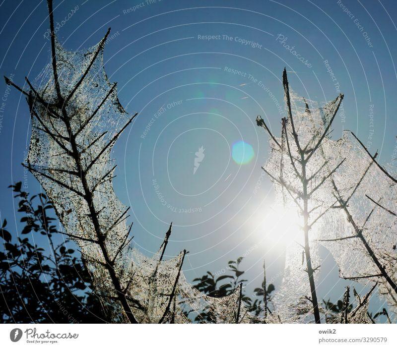 Verschleierungstaktik Umwelt Natur Pflanze Wolkenloser Himmel Sonne Schönes Wetter Sträucher Zweige u. Äste Krankheit Pflanzenschädlinge Baumkrankheit Netz