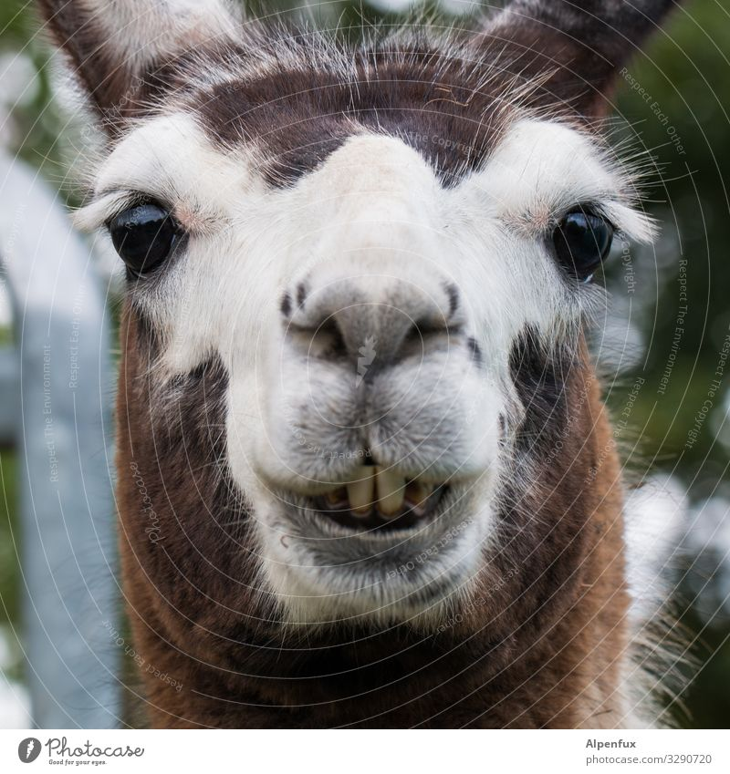 D. Lama Tier Nutztier Wildtier Lächeln lachen Blick Freundlichkeit schön kuschlig niedlich Fröhlichkeit Zufriedenheit Gelassenheit Lebensfreude Optimismus