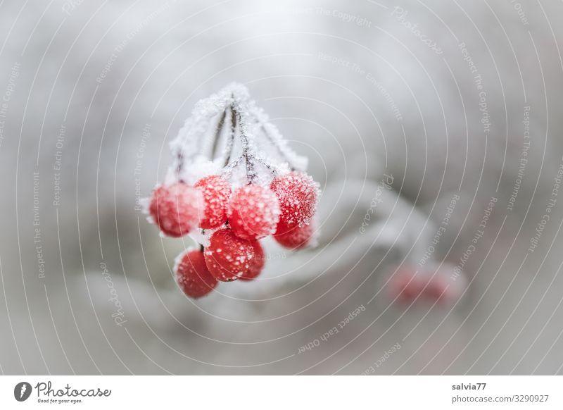 Frostbeeren Umwelt Natur Pflanze Winter Eis Schnee Sträucher Beerensträucher kalt grau rot weiß Raureif gefroren Farbfoto Außenaufnahme Nahaufnahme Menschenleer