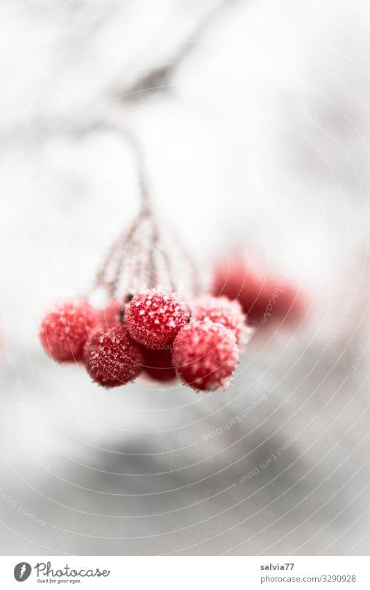 Eiszeit | Tiefgefroren Natur Winter Frost Schnee Pflanze Sträucher Zweig Beerenfruchtstand Frucht kalt rot weiß Raureif Farbfoto Außenaufnahme Makroaufnahme