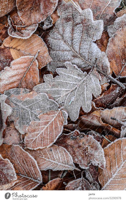 winterlaub Natur Pflanze Blatt Wald Winter Herbst kalt natürlich braun grau Eis liegen Frost gefroren