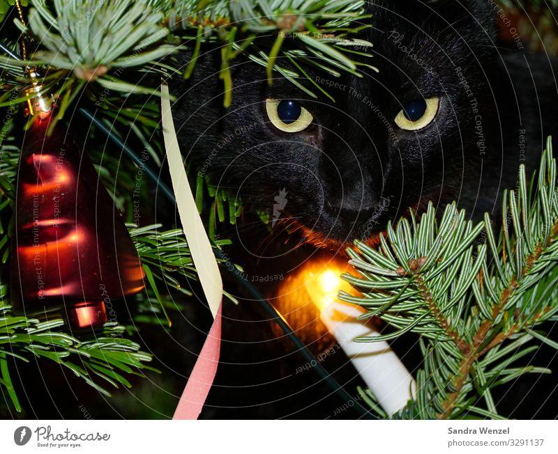 Sirius im Tannenbaum Winter Baum Zufriedenheit Vorfreude Vertrauen Geborgenheit Weihnachten & Advent Weihnachtsbaum Katze kulleräugig Farbfoto Innenaufnahme