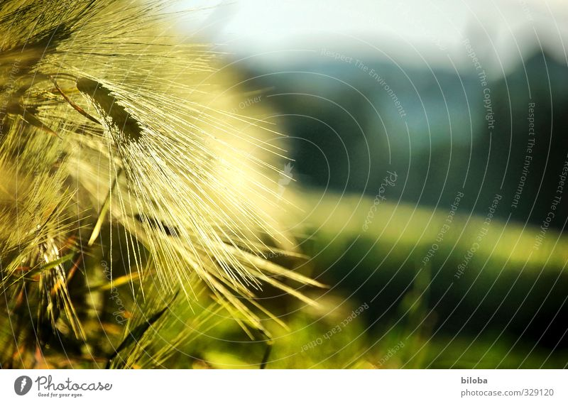 Sonnengereift Lebensmittel Getreide Ernährung Bioprodukte Natur Pflanze Feld gelb gold grün Ähren Feldfrüchte Landwirtschaft Sonnenlicht Qualität Landleben