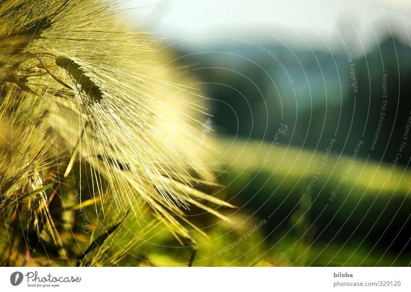 Sonnengereift Natur grün Pflanze gelb Lebensmittel Feld gold Ernährung Landwirtschaft Getreide Bioprodukte Landleben Qualität Ähren Feldfrüchte