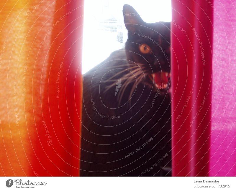 Wild Cat Katze Vorhang Hauskatze Versteck fauchen