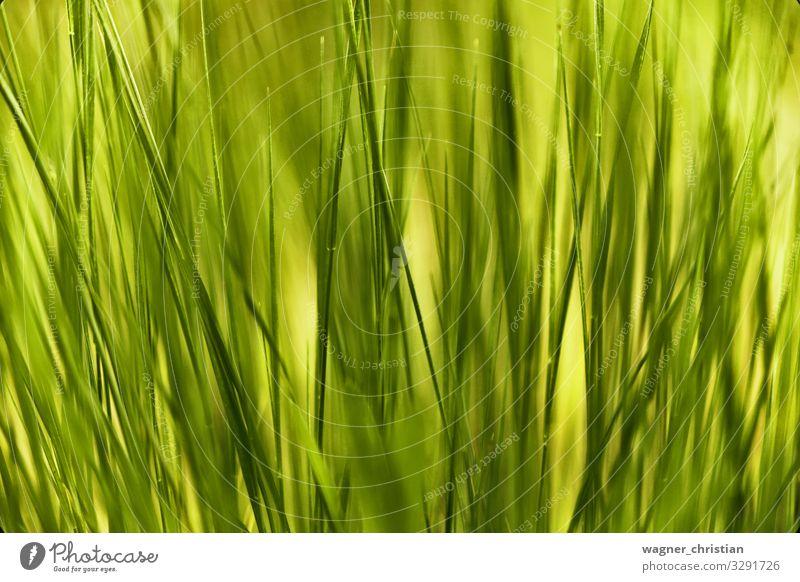 Grass Natur Pflanze grün Halm Linie abstrakt frisch Hintergrundbild Strukturen & Formen Farbfoto mehrfarbig Nahaufnahme Detailaufnahme Makroaufnahme