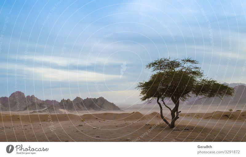 ein grüner Baum in der Wüste Ägyptens exotisch Ferien & Urlaub & Reisen Sommer Berge u. Gebirge Natur Pflanze Sand Himmel Wolken Horizont Blatt Felsen Stein
