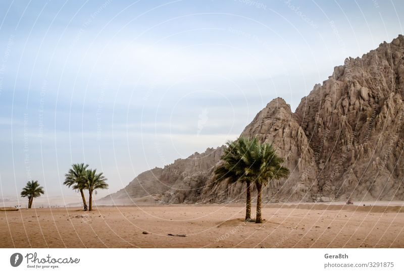 grüne Palmen vor dem Hintergrund der Wüste Ägyptens exotisch Ferien & Urlaub & Reisen Sommer Berge u. Gebirge Natur Landschaft Pflanze Sand Himmel Wolken Dürre