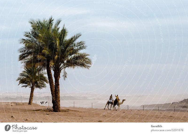 Menschen reiten Kamele in der Wüste Sharm El Sheikh Ägypten exotisch Ferien & Urlaub & Reisen Tourismus Ausflug Abenteuer Berge u. Gebirge Natur Landschaft Sand
