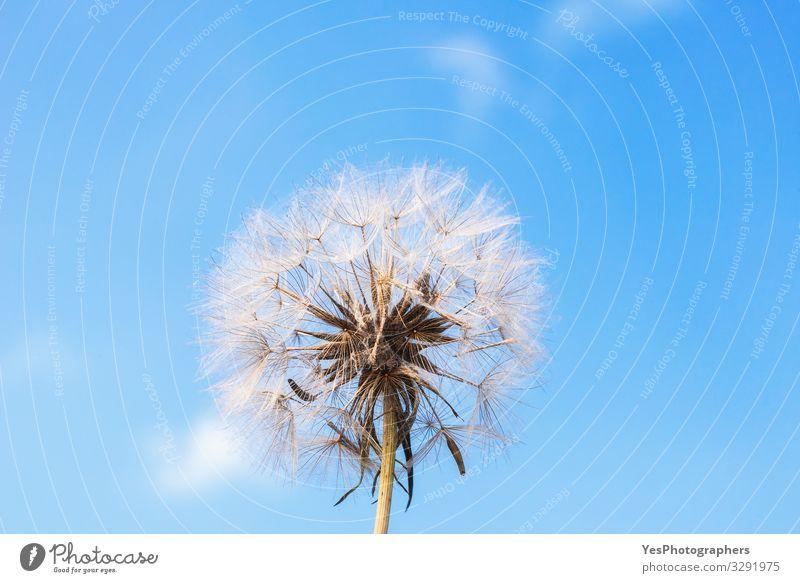 Löwenzahn gegen blauen Himmel. Reifer Löwenzahn. Sommerblume Umwelt Pflanze Blume Blüte Wachstum natürlich niedlich Einsamkeit Pusteblume Blauer Hintergrund
