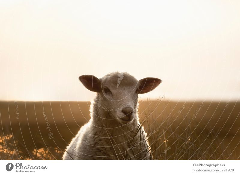 Schafporträt im Sonnenlicht starrend. Weißes Lamm auf der Insel Sylt Sommer Landschaft Schönes Wetter Gras Nordsee stehen Einsamkeit Friesland Deutschland