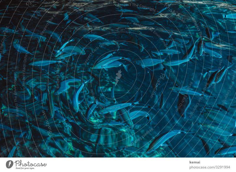 Viele Fische Leben harmonisch Wohlgefühl Zufriedenheit Freizeit & Hobby Ferien & Urlaub & Reisen Ausflug Natur Tier Wasser Sommer Meer Wildtier Schwarm