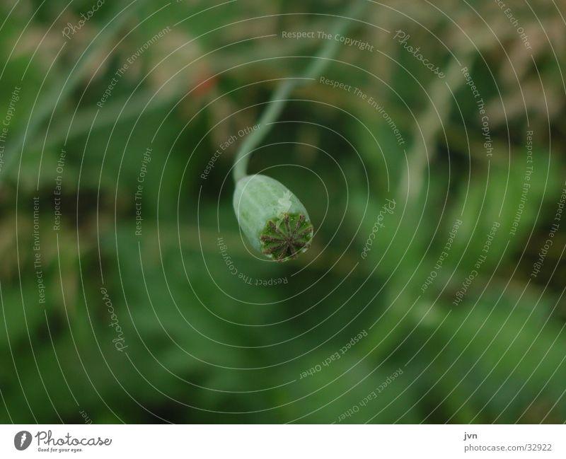 vergänglichkeit Blume grün Sommer neu Vergänglichkeit Mohn Samen