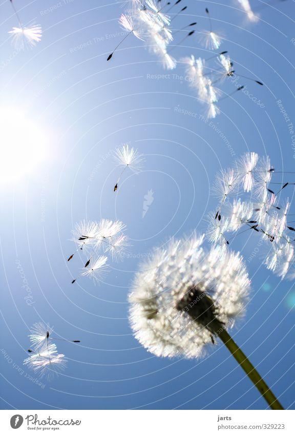 summerfeeling Umwelt Natur Pflanze Himmel Frühling Sommer Schönes Wetter Blüte fliegen frei Unendlichkeit blau Lebensfreude Frühlingsgefühle Löwenzahn Schweben