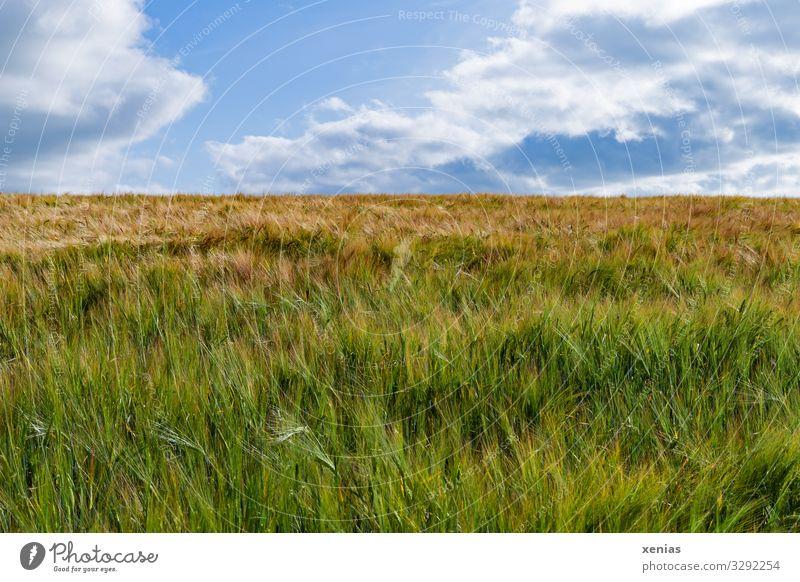 Kornfeld mit blauem Himmel ohne Bett Getreide Ernährung Bioprodukte Vegetarische Ernährung Landwirtschaft Forstwirtschaft Natur Landschaft Wolken Sommer Klima