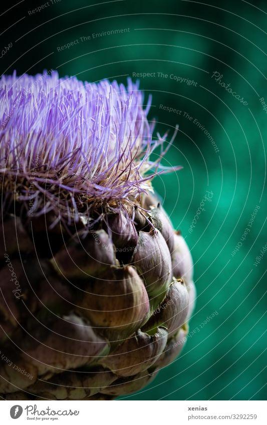 Artischockenblüte vor grünem Hintergrund Pflanze Blüte Distel Garten Blühend exotisch groß violett Kulturpflanze Xenias Studioaufnahme Nahaufnahme