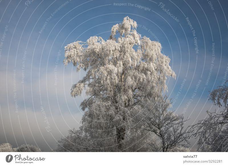 Winterstimmung Umwelt Natur Pflanze Himmel Wolken Sonne Klima Schönes Wetter Eis Frost Baum Sträucher Birke Park Wald kalt Stimmung Idylle ruhig Raureif