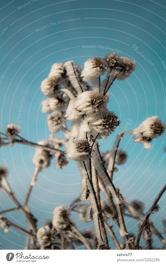 Eisblumen Umwelt Natur Wasser Himmel Winter Klima Schönes Wetter Frost Schnee Pflanze Blume Distel außergewöhnlich Coolness kalt bizarr Raureif Farbfoto