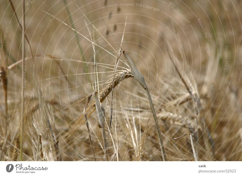 Scharfe Ähre Natur Pflanze Sommer Gesundheit blond Feld Getreide Ernte nachhaltig stachelig Ähren Getreidefeld Nutzpflanze