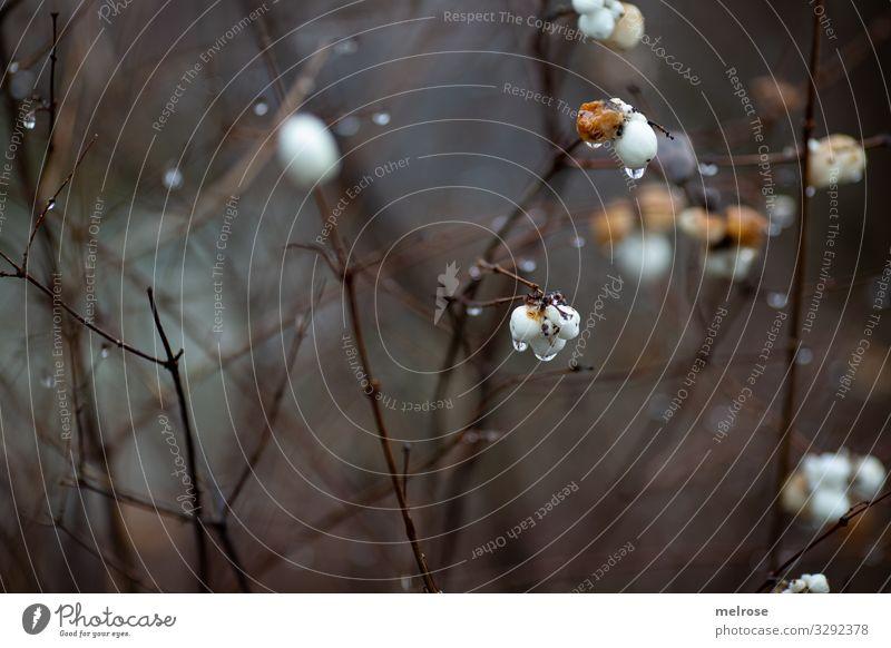 weiße Blüten - Regentag Lifestyle Natur Wassertropfen Winter schlechtes Wetter Pflanze Sträucher Garten trist Traurigkeit hängen kalt nah nass braun gold Trauer
