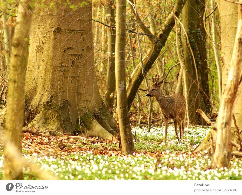 Bambi Umwelt Natur Landschaft Pflanze Tier Urelemente Erde Frühling Schönes Wetter Baum Blume Wald Wildtier Fell 1 hell nah natürlich Wärme braun grün weiß Reh