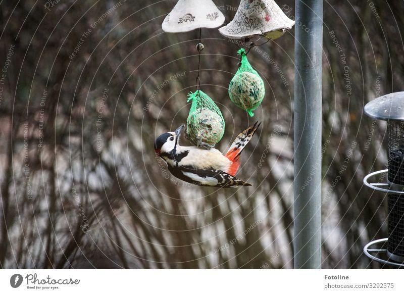Neulich am Maisenknödel Umwelt Natur Tier Winter Pflanze Sträucher Wildtier Vogel Flügel 1 nah natürlich rot schwarz weiß Fressen Appetit & Hunger Feder füttern