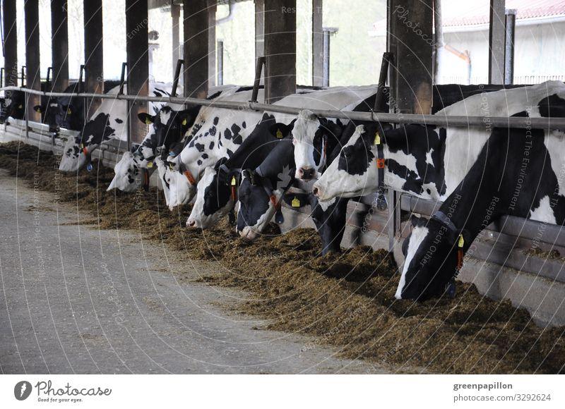 Kuhstall Kühe Rinder Milch Milchwirtschaft Landwirt Bauer Milchpreis Tierhaltung ökologisch Schwarzbunte Bauernhof Urlaub Ferien Käse Futter bio Haltung