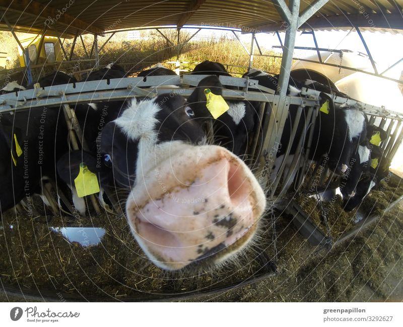 Guckuck - Rind schnüffelt neugierig Ferien & Urlaub & Reisen Landwirtschaft Forstwirtschaft Nutztier Kuh Tiergesicht Tiergruppe Herde Blick Milch