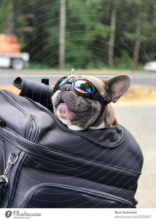 Fröhliche Haustier-Reise Freude Glück Ferien & Urlaub & Reisen Ausflug Freiheit Tier Sonnenlicht Straße Motorrad Hund Lächeln Liebe frei Fröhlichkeit Tierliebe