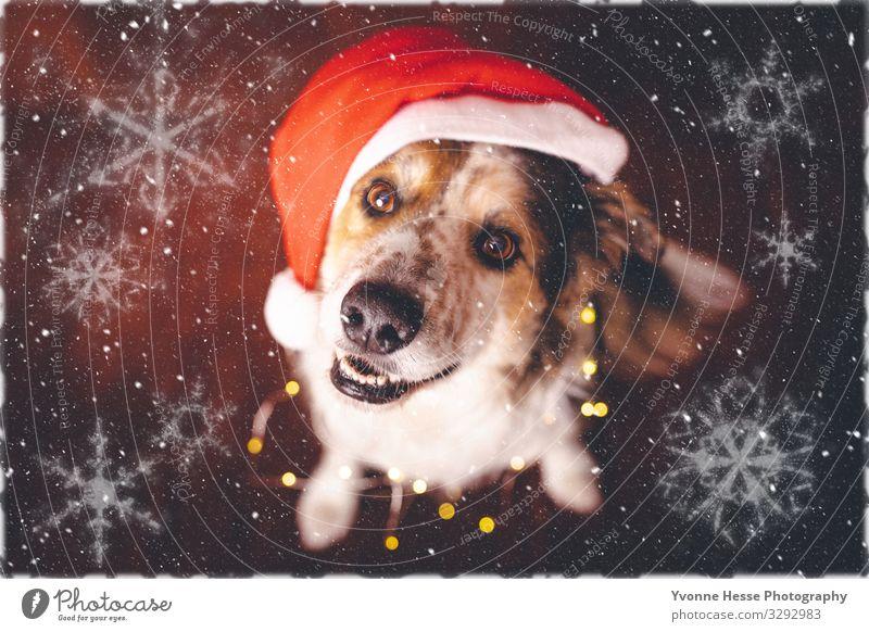 Santa's assistant Winter Mütze Tier Haustier Hund leuchten authentisch Coolness Glück niedlich positiv verrückt mehrfarbig gold rot schwarz weiß Vorfreude