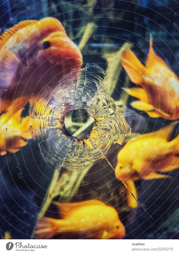 Loch im Aquarium Tier Fisch Tiergruppe Schwarm Schwimmen & Baden kaputt blau braun gelb Glasscheibe Schuss Farbfoto Außenaufnahme Innenaufnahme Nahaufnahme