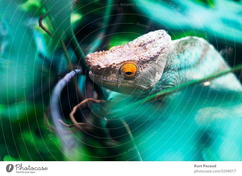Chamäleon-Reptilkopf und -auge exotisch Zoo Natur Tier Haustier beobachten hängen Blick Traurigkeit warten ästhetisch außergewöhnlich frei gruselig hässlich