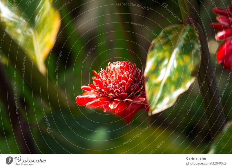 Eine rote Etlingera umrahmt von grünen Blättern Natur Pflanze Sonne Sonnenlicht Frühling Sommer Blume Blatt Blüte Grünpflanze Wildpflanze exotisch Park Blühend