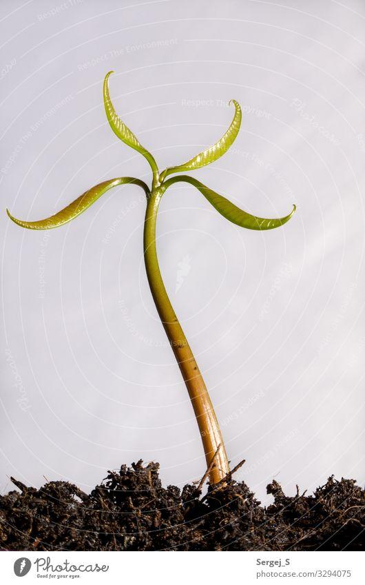Sprössling Umwelt Natur Pflanze Erde Blatt Avocado stehen Wachstum frisch klein natürlich braun grün schwarz Farbfoto Innenaufnahme Studioaufnahme Makroaufnahme