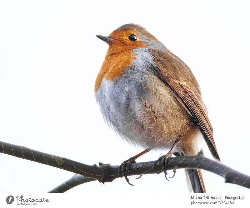 Rotkehlchen auf einem Ast Natur Tier Himmel Sonnenlicht Schönes Wetter Baum Zweige u. Äste Wildtier Vogel Tiergesicht Flügel Krallen Kopf Schnabel Auge Feder