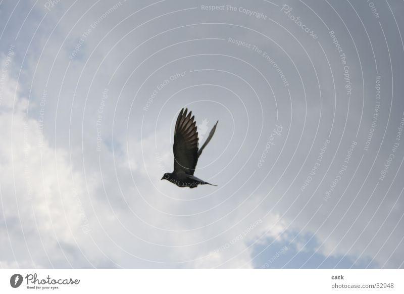 Taube Himmel blau Wolken Vogel fliegen Flügel aufwärts Taube