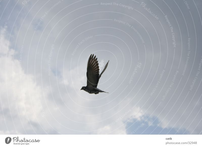 Taube Himmel blau Wolken Vogel fliegen Flügel aufwärts