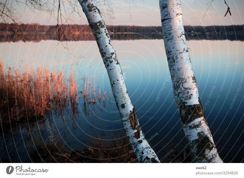 Januar Umwelt Natur Landschaft Pflanze Luft Wasser Wolkenloser Himmel Schönes Wetter Baum Seeufer Baumstamm Birke Birkenrinde Idylle Ferne 2 Windstille