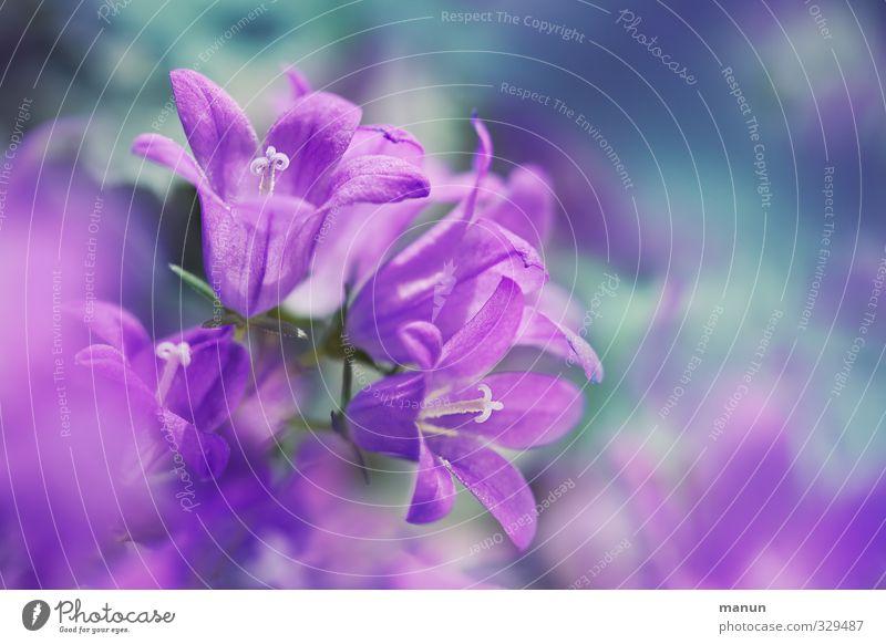 Glockenspiel Natur Frühling Blume Blüte Glockenblume natürlich violett rosa Frühlingsgefühle zart Farbfoto Menschenleer Textfreiraum rechts
