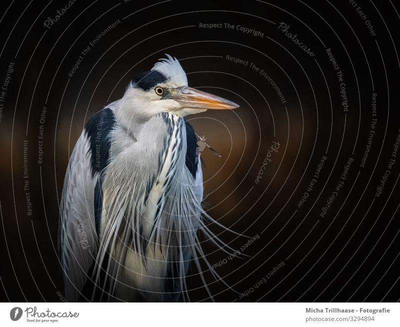 Graureiher Portrait Natur Tier Sonnenlicht Schönes Wetter Küste Seeufer Flussufer Wildtier Vogel Tiergesicht Flügel Reiher Schnabel Kopf Auge Feder gefiedert 1