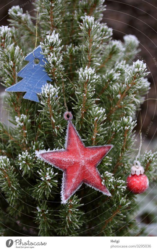 frostiger Weihnachtsschmuck Natur Weihnachten & Advent Pflanze blau grün weiß rot Baum ruhig Winter Umwelt kalt außergewöhnlich Dekoration & Verzierung Eis