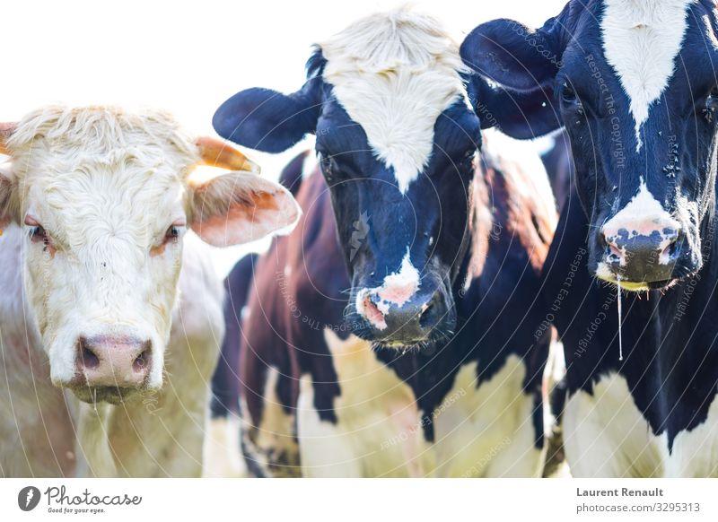 Kühe, die mit Sabber und Fliegen starren Natur Tier Kuh schwarz weiß Ackerbau Rassen Rind Molkerei heimisch Bauernhof Holstein Viehbestand Säugetier murray
