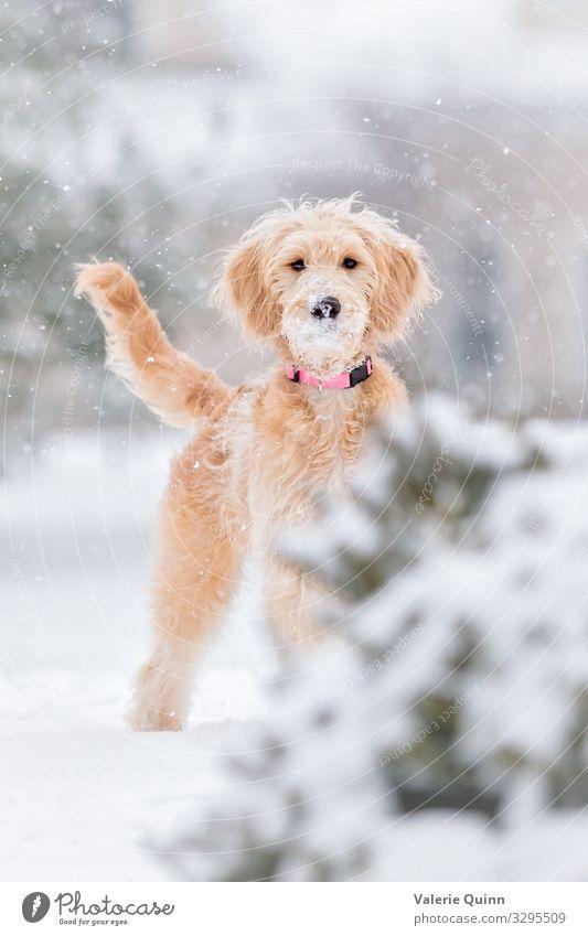Erster Schneefall Tier Urelemente Winter Wetter Unwetter langhaarig Haustier Hund 1 stehen frei Freundlichkeit Fröhlichkeit frisch Gesundheit Glück lustig