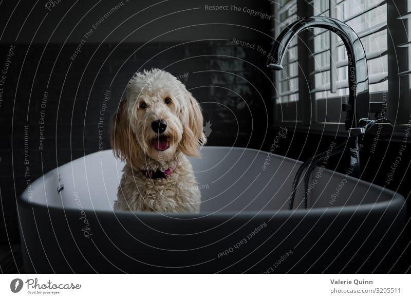 Badezeit für Rosie Tier Haustier Hund Tiergesicht 1 Badewanne Schwimmen & Baden Freundlichkeit Neugier Sorge Zukunftsangst Sauberkeit Vorfreude Golddödel