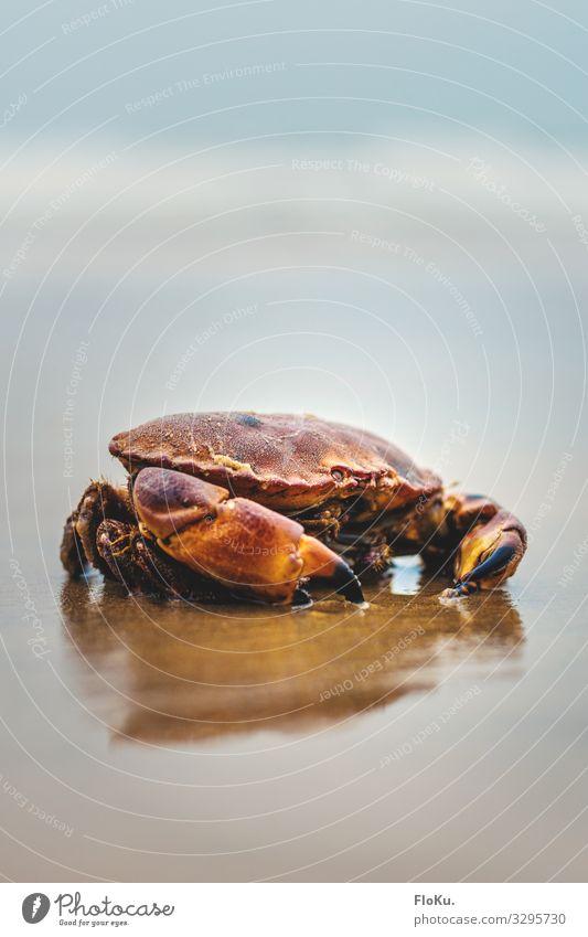 Krebs an der Nordseeküste Natur blau rot Tier Strand Umwelt natürlich Küste Sand Erde Wildtier nass Urelemente maritim Aquarium