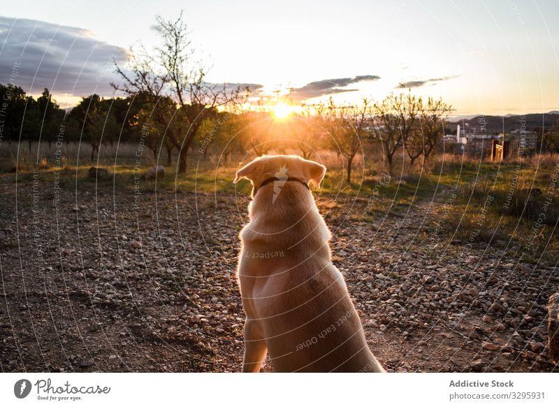 Hund beobachtet Sonnenuntergang auf dem Land Landschaft bewundern zuschauen Abend Haustier heimisch gehorsam Natur Tier Kreatur Eckzahn Reinrassig Stammbaum