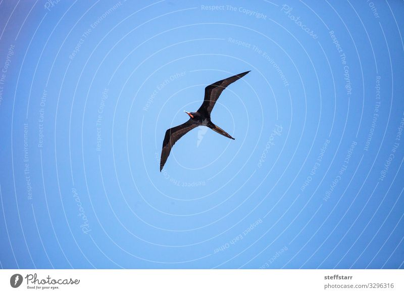 Männlicher Prachtfregattvogel Fregata magnificens Natur Tier Wildtier Vogel Flügel 1 fliegen blau rot schwarz Fregata-Prachtstücke Entenvögel große Spannweite